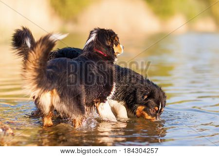 Two Australian Shepherd At The Border Of A Lake