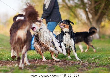 Person Plays With Four Australian Shepherd Outdoors