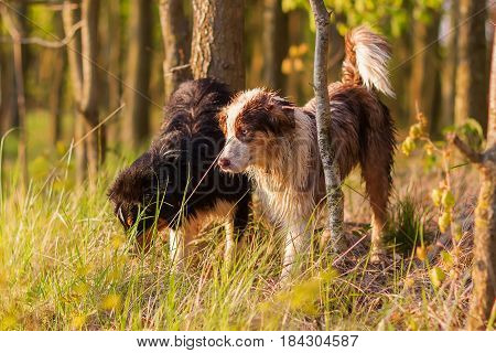 Two Australian Shepherd Dogs Standing In The Forest