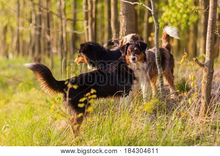 Three Australian Shepherd Dogs Standing In The Forest