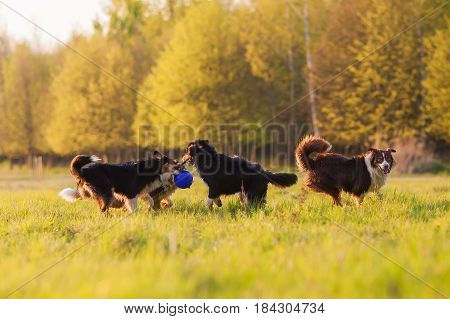 Four Australian Shepherd Dogs Playing On A Meadow