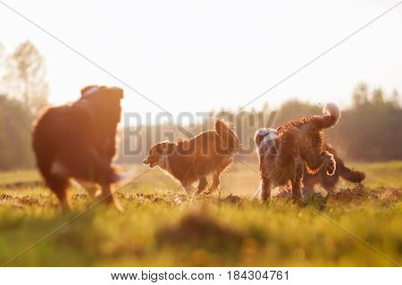Four Running Australian Shepherd Dogs With Evening Sun