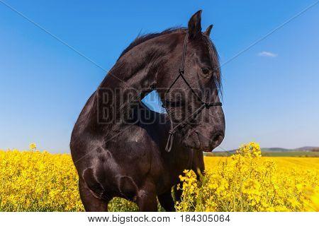 Portrait Of A Friesian Horse In A Rape Field