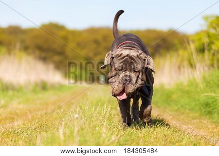 Neapolitan Mastiff Running On The Meadow