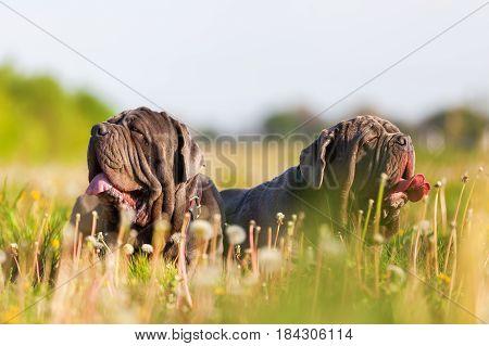 Two Neapolitan Mastiff In A Dandelion Meadow