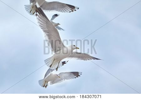 Flying seagulls up very close
