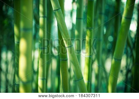 Bamboo forest can be used a background