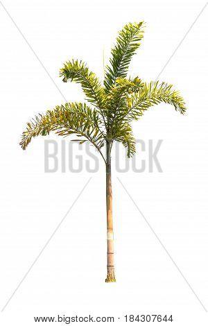 Beautiful Palm Tree Isolated On White Background