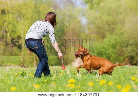Woman Plays With A Rhodesian Ridgeback On The Meadow