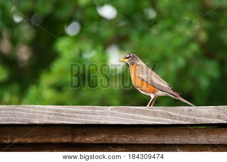 American robin (Turdus migratorius) perched on wood fence. Natural green background.