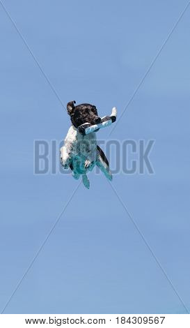 Border collie jumps with a toy in a pool in summer.