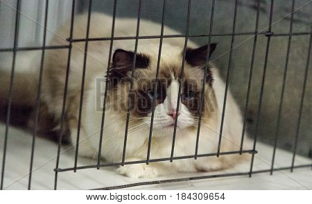 Birman purebred cat with beautiful markings and blue eyes