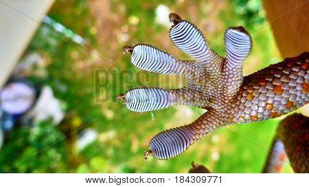 Macro Of Gecko's Paw