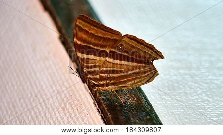 Big Brown Butterfly On The Wall