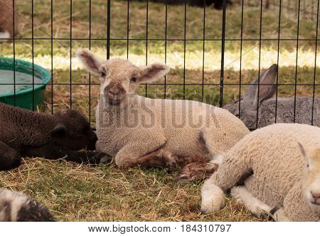 Young Lamb Sheep Rests In A Pen On A Farm