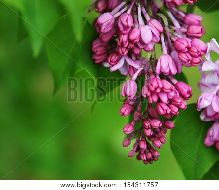 Bunches of pink fragrant Lilacs in the Summer and Spring seasons selective focus