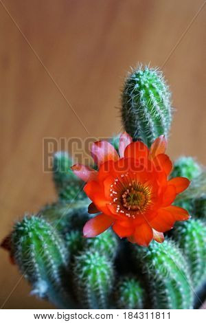 Cactus Chamaecereus with red flower