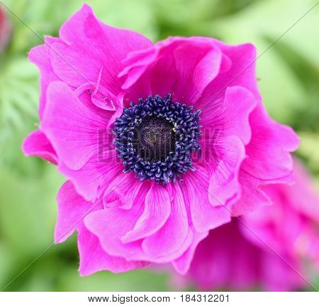Top view of pink Anemone flower in Spring season selective focus with copy space
