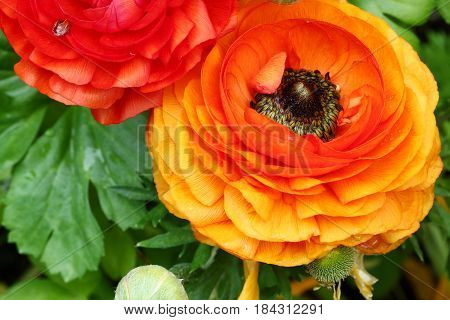 Top view of Yellow and orange Buttercup or Ranunculus flowers selective focus.