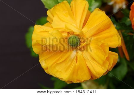 Top view of Yellow Buttercup or Ranunculus flowers selective focus