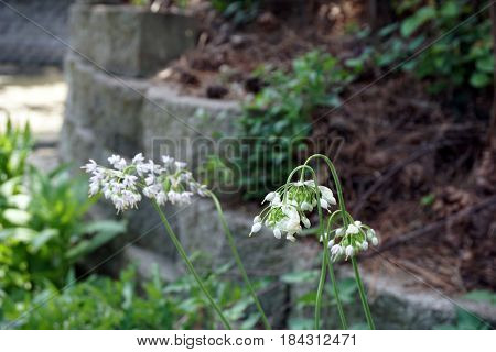 Nodding onions (Allium cernuum), also called lady's leek, bloom in Joliet, Illinois during August.