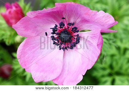 Top view of a close up of pink Anemone flower in Spring season selective focus.