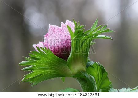 Pink Anemone flower bud in Spring season