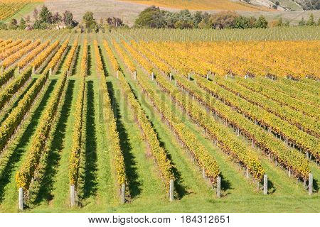 aerial view of rows of grapevine in vineyard after harvest time