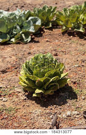 Fresh Ripe Romaine Lettuce Grows On A Small Organic Farm