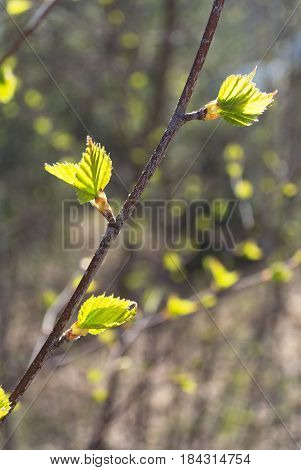 Young spring small green leaves on branch of tree in forest or park under bright spring sunlight. Awakening of nature and spring time creative concept.