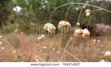 Native Australian grass with seed pods along a bush walk trail