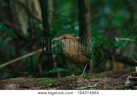Rusty-naped Pitta In Nature