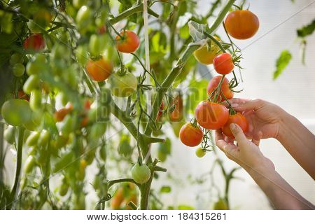 woman's hands harvesting fresh organic tomatoes in her garden on a sunny day. Farmer Picking Tomatoes. Vegetable Growing. Gardening concept