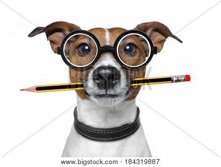 jack russell dog with pencil or pen in mouth wearing nerd glasses for work as a boss or secretary isolated on white background