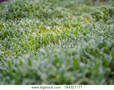 Green plants photographed with soft focus. Carpet from grass, coverage of green leaves, eco, background with blur. Spring macro landscape.