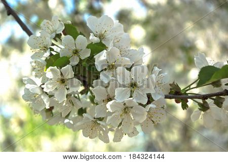 Closeup of white cherry blossoms in spring