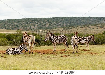 Zebras Standing In Different Directions