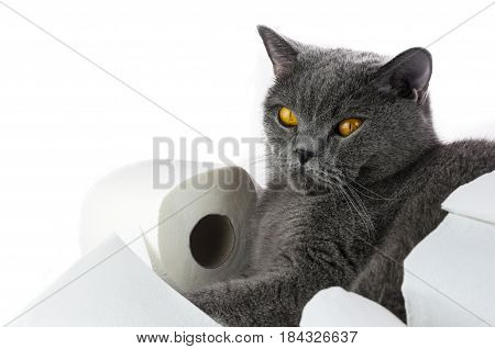 the cat of the British breed of a gray color falls asleep on a toilet roll