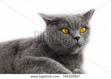 the cat of the British breed of a blue color with astonishment looks ears stick out in different directions