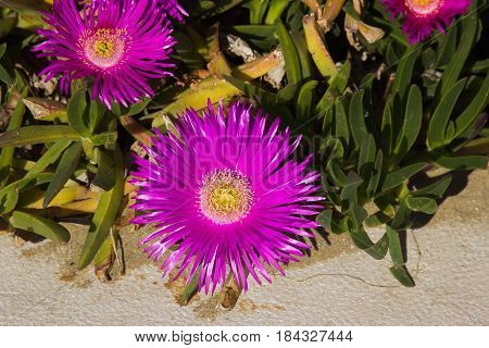 Detail of a group of carpobrotus edulis flowers