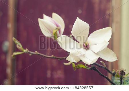 Marsala background with magnolia flowers. Blooming magnolia tree in the spring.