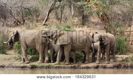 A herd of elephants drinks on the banks of the Ewaso Nyiro River.