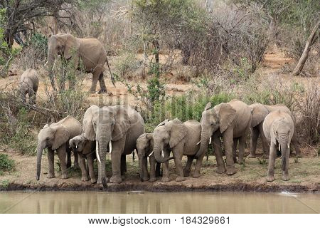 A herd of African elephants gathers at the edge of the Ewaso Nyiro to drink.