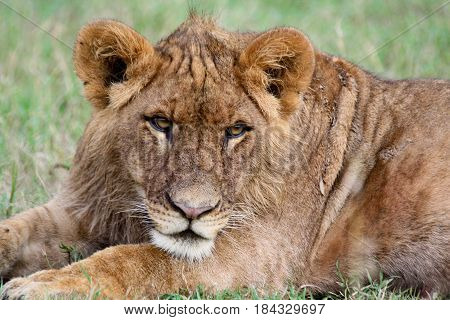 Portrait of a young lion lying down.
