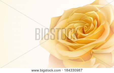 Vector realistic yellow rose on a yellow  background