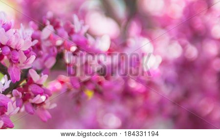 Sakura branch, pink on the background of a bokeh