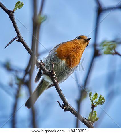 European Robin On A Twig