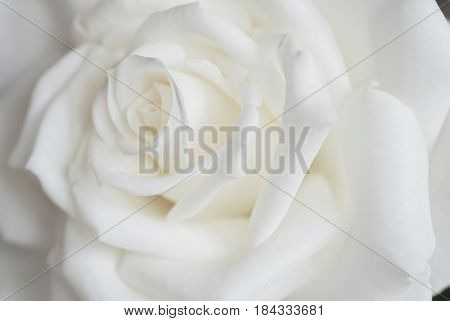 Extreme close-up of white rose, background image, abstract