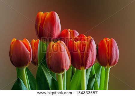 Close-up image of tulips with light from side and nice soft background