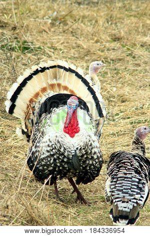 Turkeys walk in the poultry. Bright turkey